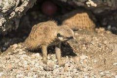 Young meerkat Royalty Free Stock Photos