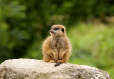 Young Meerkat on the Lookout. A young meerkat takes his turn at being lookout Stock Photos