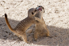 Young Meerkat. S occupied with play fighting Royalty Free Stock Photos