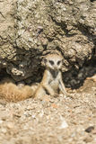 Young meerkat. Peering curiously from under the rock Royalty Free Stock Photos