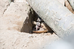 Young meerkat pup with mother. A young meerkat pup in a den with its mother Royalty Free Stock Image