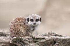 Young Meerkat. Sat on a log Royalty Free Stock Photos