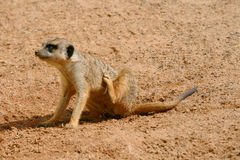 Young meerkat scratching Royalty Free Stock Image
