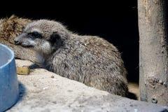 Young Meerkat sitting Stock Image
