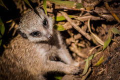 A young Meerkat (or Suricata suricatta). A young meerkat (commonly found in Botswana, South Africa, Angola and Namibia Royalty Free Stock Photo