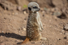 Young Meerkat (suricate) standing Royalty Free Stock Photo