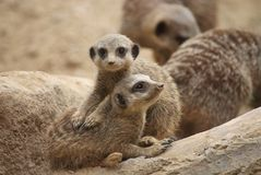 Young meerkats. A pair of inquisitive young meerkats Royalty Free Stock Photo