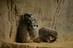 Young meerkats against wall Royalty Free Stock Photos