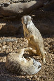Young meerkats (Suricata suricatta) playing. Royalty Free Stock Photos