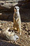 Young meerkats (Suricata suricatta) playing. Stock Photo