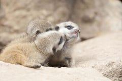 Young meerkats Stock Photo