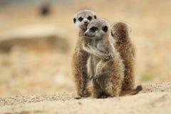 Young meerkats. The trio of standing young meerkats Stock Images