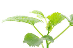 Young melon plant Royalty Free Stock Images