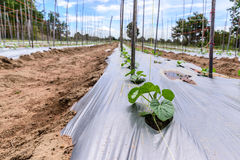 Young melon plantation mulching with plastic film Stock Photos
