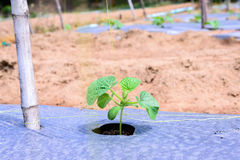 Young melon plantation mulching with plastic film Royalty Free Stock Photos