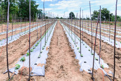 Young melon plantation mulching with plastic film Stock Photography