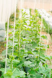 Young melon plants growing in greenhouse Royalty Free Stock Photos