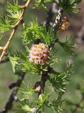 Young melting pink cone of larch Stock Photos