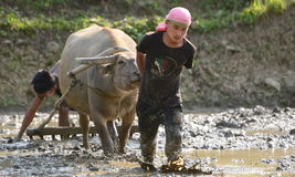 Young boys Plowing Paddy field with water buffalo Stock Images