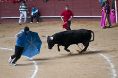 Young men teasing bulls in Valdemorillo Royalty Free Stock Photos