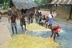 Young men thresh grain harvest in Ghanaian village. Ghana, Brong Ahafo region, village Abease: Men stand threshing between the huts, one with corrugated iron and Stock Photos