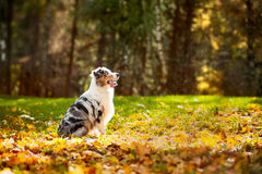 Young merle Australian shepherd look up Stock Images