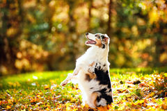 Young merle Australian shepherd performs a trick Stock Photography