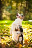 Young merle Australian shepherd performs a trick Royalty Free Stock Photos