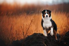 Young merle Australian shepherd playing with leaves in autumn royalty free stock image
