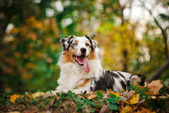 Young merle Australian shepherd portrait in autumn Stock Images