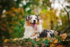 Young merle Australian shepherd portrait in autumn Stock Images