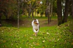 Young merle Australian shepherd running in autumn Stock Images
