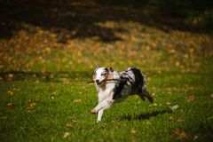 Young merle Australian shepherd running in autumn Royalty Free Stock Photo