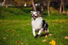 Young merle Australian shepherd running in autumn Royalty Free Stock Photo