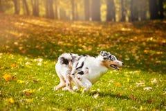 Young merle Australian shepherd running in autumn Stock Photo