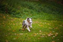 Young merle Australian shepherd running in autumn Stock Photos