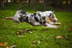 Young merle Australian shepherd running in autumn Royalty Free Stock Images