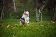 Young merle Australian shepherd running in autumn Royalty Free Stock Photos