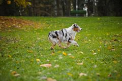 Young merle Australian shepherd running in autumn Royalty Free Stock Image
