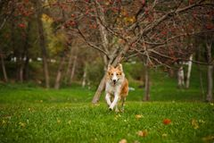 Young merle border collie running in autumn Royalty Free Stock Images