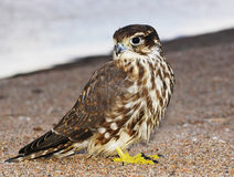 Young Merlin Stock Photo