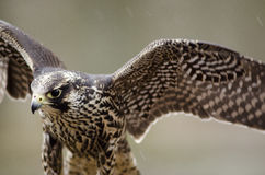 Young Merlin, Falco columbarius Stock Image