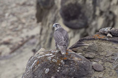 The young merlin sitting on a rock. Lena river. Yakutia. Russia Royalty Free Stock Image