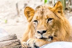 Young Mighty Handsome Lion Rest. A mighty beautiful lion is rest Royalty Free Stock Photography