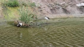 Young Migratory Birds Wading and pruning in the Urban Concrete Los Angeles River. Young Migratory Birds wade and prune in the flowing Urban Concrete Los Angeles stock footage