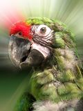 Young Military Macaw. Beautiful young military macaw with effect background Stock Photography