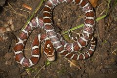 Young milk snake on soil of a garden in Connecticut. Royalty Free Stock Photography