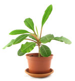 Young milkweed in flowerpot Royalty Free Stock Image