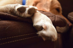 Lab Dog Paws Royalty Free Stock Images