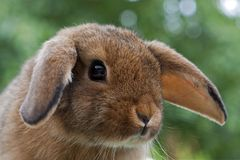 Young Mini Lop rabbit. Portrait of a young Mini Lop rabbit Stock Image